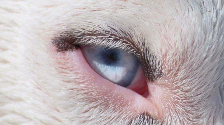 愛犬の目が赤くなっている、目をしょぼしょぼさせている。開かなくなった!考えられる病気とは