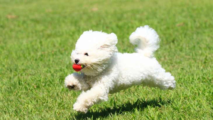 ふわふわの白い犬が好き 大型vs小型犬の白い犬全部見せます図鑑