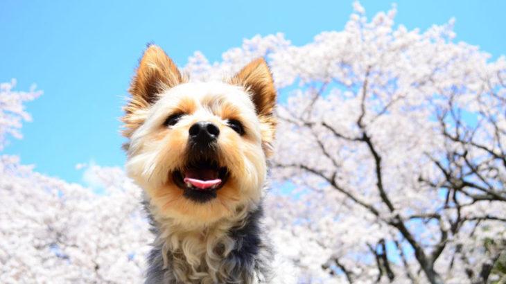 ヨークシャーテリアの体重推移!あなたの愛犬は平均サイズ?